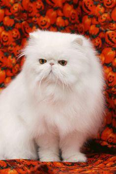 El Persa blanco, dulce muñeco de algodón