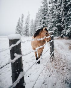 Pretty horse along snow covered fence.