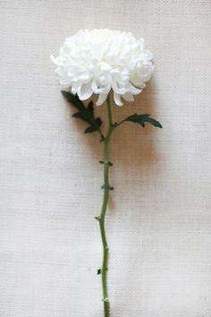 Crisantemo :: Chinamum