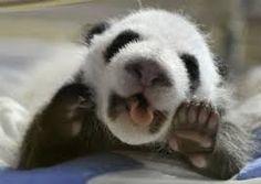 Resultado de imagen para osos panda