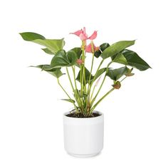 Anthurium in Ceramic Potted Plants, Planting Flowers, Ceramics, Pot Plants, Ceramica, Pottery, Ceramic Art, Container Plants, Container Garden