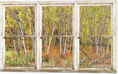 Windows Canvas Print featuring the photograph Colorful Aspen Tree Forest White #Rustic #Panorama #Window #View by James BO Insogna #insognaGallery #WallArt