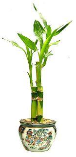 Lucky Bamboo (Dracaena sanderiana) is actually a member of the Dracaena family, and is not really bamboo at all. The kind of bamboo peopl. Bamboo Plant Care, Lucky Bamboo Plants, Plant Diseases, Inside Plants, Bamboo Crafts, House Plant Care, Lawn And Garden, Garden Tips, Garden Projects