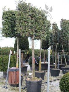 Quercus ilex Steeneik, groenblijvend