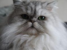 Silver shaded Persian