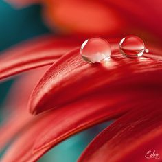 Waterdrops on Red Flower