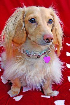 beautiful cream dachshund just like Roxie and Ben!!!