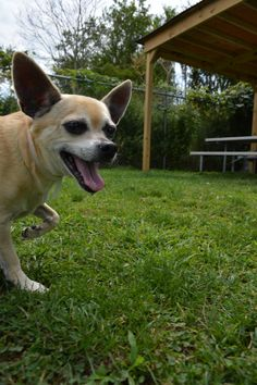 This little male chihuahua is up for adoption. He's roughly 5 years old and gets along well with other dogs his size. He needs a calmer home without small children.