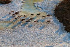 De retour d'Aalaska Les caribous entament leur périple migratoire depuis les aires de mise bas, dans la réserve naturelle nationale de l'Arctique, en Alaska, jusqu'aux aires d'hivernage du Yukon.
