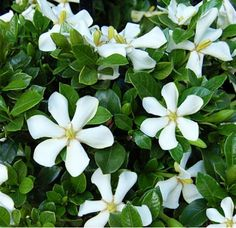 Pinwheel® Gardenia | Gardenia augusta 'PIIGA-I' PPAF. This evergreen beauty has whimsical flowers, an intoxicating fragrance and repeat blooms from late spring through fall.  The glossy green foliage provides year round interest.  Exceptionally cold hardy. zone 6-9.