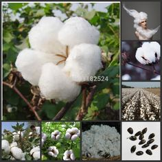 Free Shipping 100pcs Cotton plant Gossypium Seeds-in Bonsai from Home & Garden on Aliexpress.com | Alibaba Group