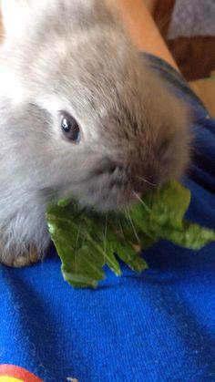 Lionhead Baby Chomping on lettuce.