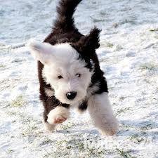old english sheepdog #puppy #english #dogs #photography Celebrating Britain at makeitbritish.co.uk