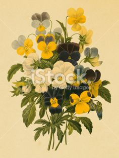 Pansy | Antique Flower Illustrations Royalty Free Stock Vector Art Illustration