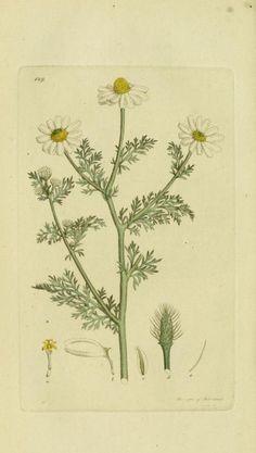 v.6 (1809) - Svensk botanik. - Biodiversity Heritage Library