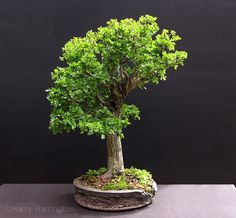 hawthorn bonsai...love the pot as well.