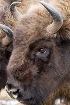 Beautiful, beautiful bison!  Incredible photography! <pin by Kim Rackley on Where the Wild Things Are>