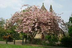As we walk through the early morning countryside we see a magnificent tree, full of blossom. So full of Springtime is it, that it almost obscures the quiet church building in whose courtyard it grows.