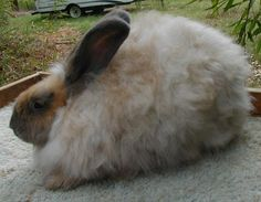 Coconut-Brown and Tan French Angora Bunny they have no furnishings on their ears