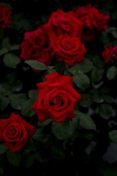 薔薇 #rose