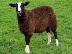 Pedigree Zwartbles Sheep Flock