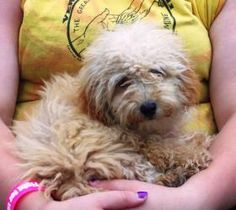 Dori is an adoptable Poodle Dog in Owatonna, MN. Dori is a 5 pound, 5 month old, female Toy Poodle puppy, presently living in a foster home in Waseca MN. Dori is sweet, snuggly, tiny and thrives on an...