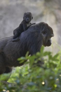 Gorilla baby and his daddy. What a great post! We just absolutely love animals. Whether it's a dog, cat, bird, horse, fish, or anything else, animals are awesome! Don't you agree? -- courtesy of www.canoodlepets.com