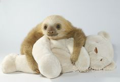 My own adopted sloth that lives in Costa Rica at the Sloth Orphanage. His name is Luigi :D He is 9 months old!!!