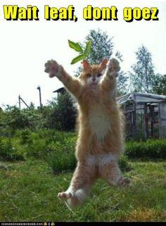 funny cat pictures - Wait  leaf,  dont  goez