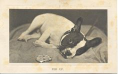 "Vintage postcard of a French Bulldog entitled ""Fed Up"". Published by C. W. Faulkner & Co., London."