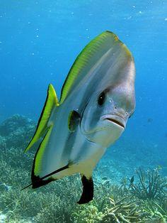 Curious Batfish # Pin++ for Pinterest #