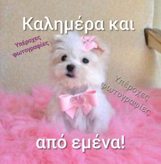 Animals - Outstanding Tiny size Maltese puppies available they are current on all shots.They are home raised puppies, all teacup Y. Yorkie Puppy For Sale, Cute Puppies, Cute Dogs, Dogs And Puppies, Yorkie Puppies, Yorkies, Teacup Maltese, Teacup Puppies, Maltese Dogs