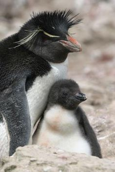Everyone loves seeing these funny Rockhopper penguins when they visit the Falklands World Penguin Day