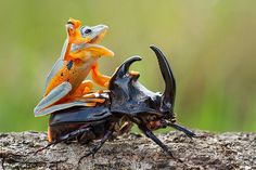 Photographer Captures A Cute, Tiny Frog Hitching A Ride On A Beetle