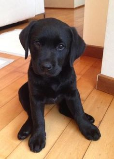 Mind Blowing Facts About Labrador Retrievers And Ideas. Amazing Facts About Labrador Retrievers And Ideas. Cute Baby Dogs, Cute Dogs And Puppies, Cute Baby Animals, Doggies, Perro Labrador Retriever, Retriever Puppy, Labrador Puppies, Chocolate Labrador Retriever, Golden Retriever