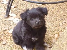 Petango.com – Meet Ella, a Terrier, Cairn / Mix available for adoption in SPARTA, NJ / it is hard to believe this little puppy hasn't been adopted !
