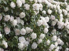 Icecap™ | Star Roses & Plants