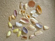 Coquinas - always on the beach - rolling with the tide and burrowing under the sand - tried a coquina soup one day - a lot of work for not much of anything - colorful shells hold much more value than the meat's tastiness