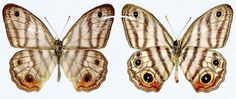 Sir Butterfly! New Species Named for David Attenborough http://whtc.co/7sts