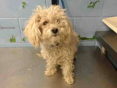 URGENT San Bernardino, CA ~ Animal ID #A499900 San Bernardino City Animal Control  ‒ I am described as Female, White Miniature Poodle mix. The shelter thinks I am about 7 years old.