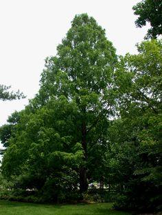 Dawn Redwood (Metasequoia glyptostroboides.)