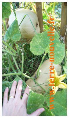 Butternut : Cultiver la courge butternut ou doubeurre