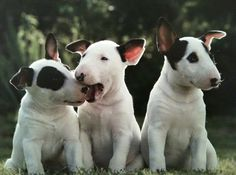 Three littles and cutes bull terriers