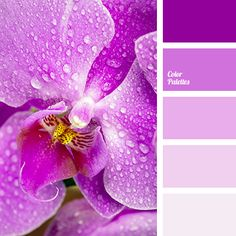 """dusty"" pink, color combination, color of fuchsia, gentle lilac, languid lilac, light pink, pale pink, selection of colors and palettes, shades of lilac, shades of pink, shades of pink color."