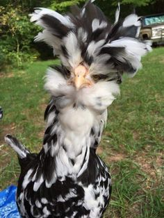 Mottled Houdan Chickens - Chicks for Sale Pretty Birds, Beautiful Birds, Animals Beautiful, Cute Baby Animals, Farm Animals, Animals And Pets, Bantam Chickens, Chickens And Roosters, Fancy Chickens