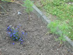 Cosmea am wachsen... PS: bin wieder von der Kur zurück und mein Guter hat alle Blumen fein gegossen ;-)