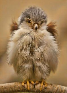 A very fluffy little baby bird