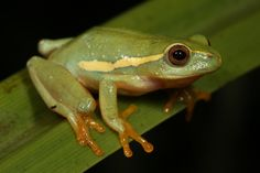 Yellow-striped Reed Frog by Nick Evans