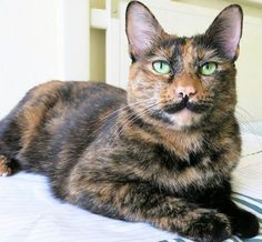 """Tortitude"" - The Unique Personality Of Tortoiseshell Cats: Fact Or Fiction?"