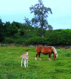 Breton, developed in Brittany, France, through the crossbreeding of many different European and Oriental breeds.Today the breed is used as a draft horse on small farms, and is also used to gather seaweed.